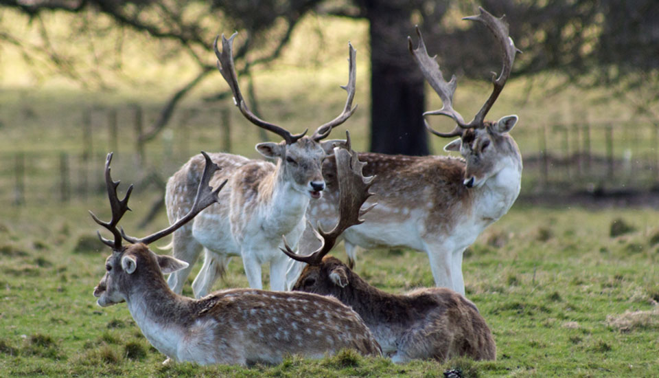 Deer- Attingham Park